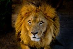 Retrato del primer de un león joven Fotografía de archivo