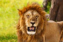 Retrato del primer de un león viejo del rugido Imagenes de archivo