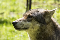 Retrato del primer de un lobo Fotos de archivo