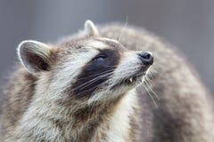 Retrato del primer de un mapache adulto Fotografía de archivo