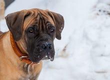 Retrato del primer de un pequeño perrito de la raza rara Boerboel surafricano en el fondo de la nieve Fotografía de archivo