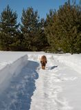 Retrato del primer de un pequeño perrito de la raza rara Boerboel surafricano en el fondo de la nieve Imagenes de archivo