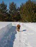 Retrato del primer de un pequeño perrito de la raza rara Boerboel surafricano en el fondo de la nieve Foto de archivo libre de regalías