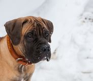 Retrato del primer de un pequeño perrito de la raza rara Boerboel surafricano en el fondo de la nieve Imagen de archivo