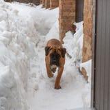 Retrato del primer de un pequeño perrito de la raza rara Boerboel surafricano en el fondo de la nieve Fotos de archivo