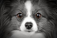 Retrato del primer de un perro de la casta del papillon Imagenes de archivo