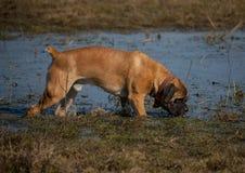 Retrato del primer de un perro de la raza rara Boerboel surafricano en el fondo del lago del otoño Imagen de archivo libre de regalías