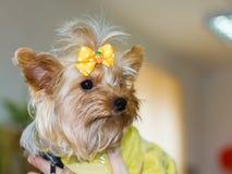Retrato del primer de un terrier de Yorkshire del perro Fotografía de archivo