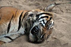 Retrato del primer de un tigre malasio imagen de archivo libre de regalías
