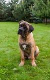 Retrato del primer de una edad rara hermosa de la raza del perro cuatro meses de Boerboel surafricano en el fondo verde y ambarin Fotos de archivo