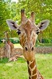Retrato de una jirafa que mira derecho la cámara. Imagen de archivo libre de regalías