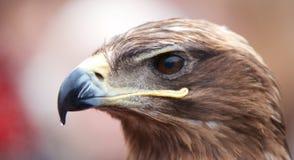 Retrato del primer de una pista de las águilas Fotografía de archivo libre de regalías
