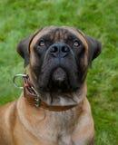 Retrato del primer de una raza rara hermosa Boerboel surafricano del perro en el fondo de la hierba verde Foto de archivo
