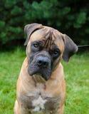 Retrato del primer de una raza rara hermosa Boerboel surafricano del perro en el fondo de la hierba verde Fotografía de archivo libre de regalías