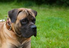 Retrato del primer de una raza rara hermosa Boerboel surafricano del perro en el fondo de la hierba verde Imagen de archivo