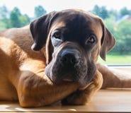 Retrato del primer de una raza rara del perro - Boerboel surafricano Fotos de archivo libres de regalías