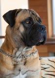 Retrato del primer de una raza rara del perro - Boerboel surafricano Imagenes de archivo