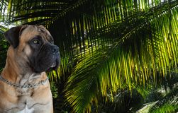 Retrato del primer de una raza rara del perro - Boerboel surafricano en el fondo de hojas verdes de palmeras Foto de archivo