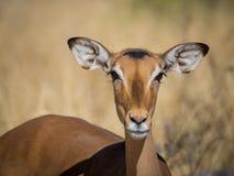 Retrato del primer del antílope curioso hermoso del impala con los oídos y los ojos grandes en el parque nacional de Moremi, Bots fotografía de archivo libre de regalías