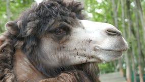 Retrato del primer del camello metrajes