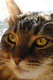 Retrato del primer del gato Fotografía de archivo