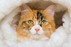 Retrato del primer del gato de calicó en cama de la piel foto de archivo libre de regalías