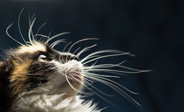 Retrato del primer del gato manchado imagenes de archivo