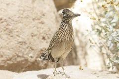 Retrato del primer del pájaro salvaje de los correcaminos de Brown en el desierto de Arizona Foto de archivo libre de regalías