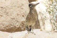 Retrato del primer del pájaro salvaje de los correcaminos de Brown en el desierto de Arizona Imagenes de archivo