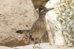 Retrato del primer del pájaro salvaje de los correcaminos de Brown en el desierto de Arizona fotos de archivo