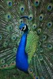 Retrato del primer del pavo real que exhibe sus plumas Fotos de archivo