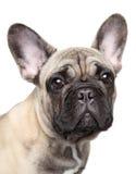 Retrato del primer del perrito del dogo francés foto de archivo