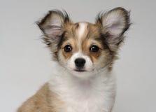 Retrato del primer del perrito lindo de la chihuahua Imagen de archivo libre de regalías