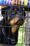 Retrato del primer del perro criado en línea pura de Rottweiler en jaula Imagenes de archivo