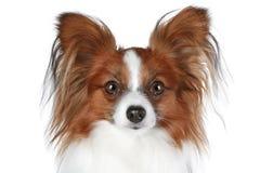 Retrato del primer del perro de Papillon Imagen de archivo libre de regalías