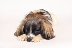 Retrato del primer del perro de Papillon Imagen de archivo