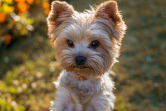 Retrato del primer del perro de Yorkshire Terrier en la hierba Imágenes de archivo libres de regalías
