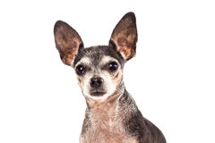 Retrato del primer del perro lindo de la chihuahua Imágenes de archivo libres de regalías