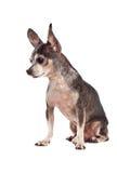 Retrato del primer del perro lindo de la chihuahua Imagen de archivo