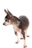 Retrato del primer del perro lindo de la chihuahua Foto de archivo libre de regalías