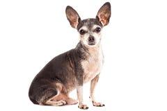 Retrato del primer del perro lindo de la chihuahua Imagen de archivo libre de regalías