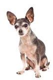 Retrato del primer del perro lindo de la chihuahua Fotografía de archivo libre de regalías