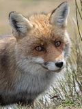 Retrato del primer del zorro rojo (vulpes del Vulpes) Foto de archivo