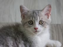 Retrato del primer del gato escocés Foto de archivo