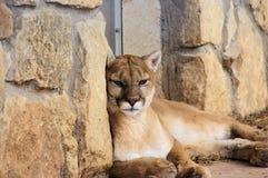 Retrato del primer del león de montaña del puma imagen de archivo