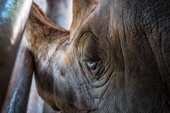 Retrato del primer del rinoceronte fotos de archivo libres de regalías
