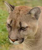 Retrato del puma Imagen de archivo