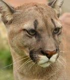 Retrato del puma Fotos de archivo