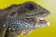 Retrato del reptil hermoso del lagarto de dragón de agua que come un inse Imagen de archivo