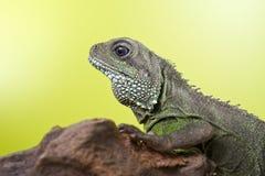 Retrato del reptil hermoso del lagarto de dragón de agua que se sienta en un b Foto de archivo libre de regalías